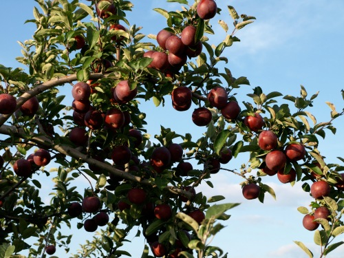 Ripe apples on the tree at Green Mountain Orchards, Putney, Vermont (Russell Steven Powell photo)