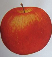 Westfield Seek-No-Further apple