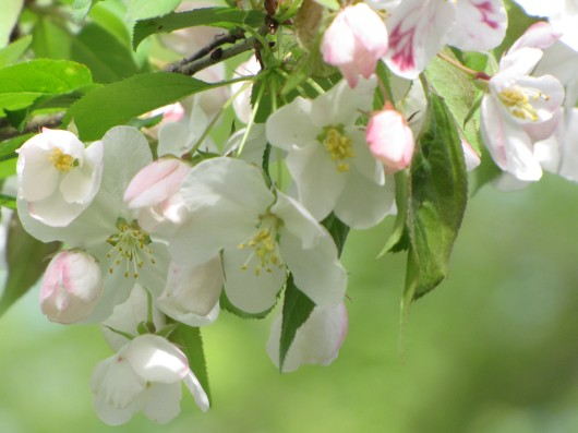 New England apple blossoms