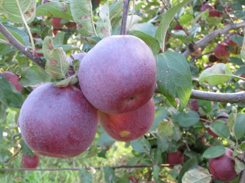 The naturally occurring bloom on these apples helps them retain moisture. A scab on an apple is no reason to waste an otherwise luscious piece of fruit. (Russell Steven Powell photo)