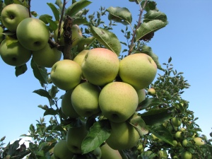 Golden Delicious is one of many New England apple varieties that ripen in late October. (Russell Steven Powell photo)