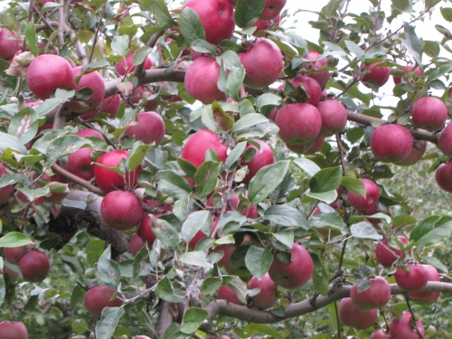 The lone Red Spy apple tree at Hackett's Orchard in South Hero, Vermont, is ripe for picking. (Russell Steven Powell photo)