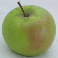 Shamrock apple (Bar Lois Weeks photo)