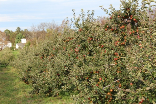 Find Fuji apples at Averill Farm in Washington Depot, Connecticut. (Bar Lois Weeks photo)