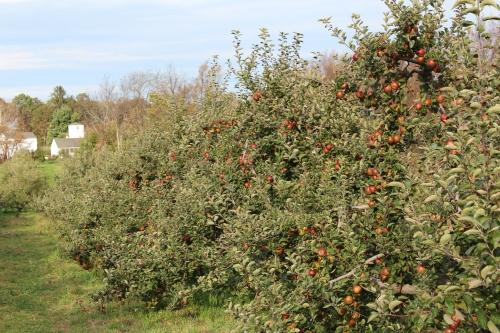 Find Fuji apples at Averill Farm in Washington Depot, Connecticut. (Bar Lois Weeks photo)
