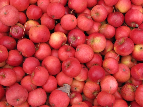 Crabapple-sized Wickson apples ready for pressing at Poverty Lane Orchards in Lebanon, New Hampshire. (Russell Steven Powell photo)