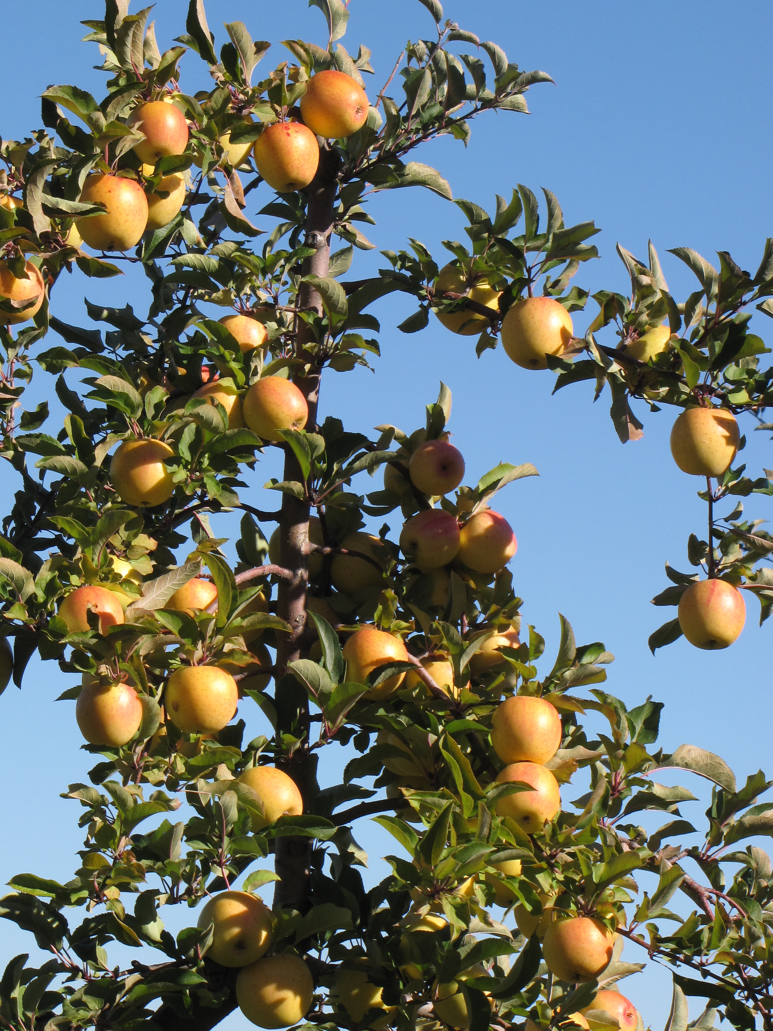 November 2011 New England Apples