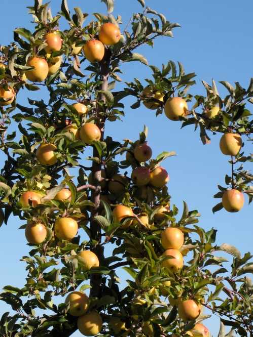 GoldRush apples at Clarkdale Fruit Farm in Deerfield, Massachusetts