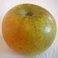 Golden Russet apple (Bar Lois Weeks photo)
