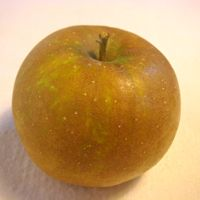 Roxbury Russet apple (Bar Lois Weeks photo)