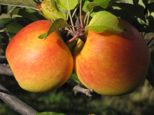 New England apples (Russell Steven Powell photo)
