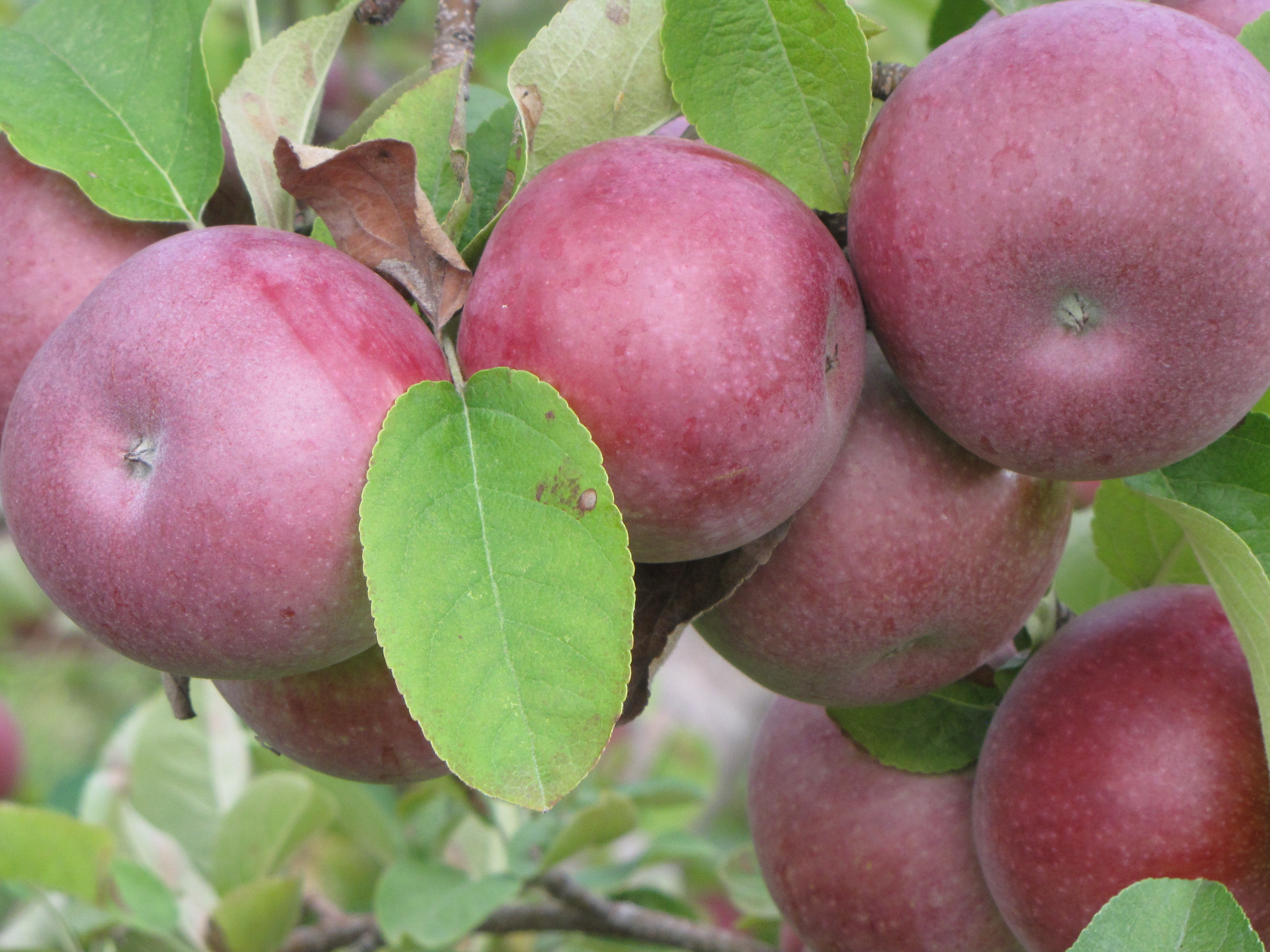 IdaReds at Red Apple Farm, Phillipston, Massachusetts. (Russell Steven Powell photo)