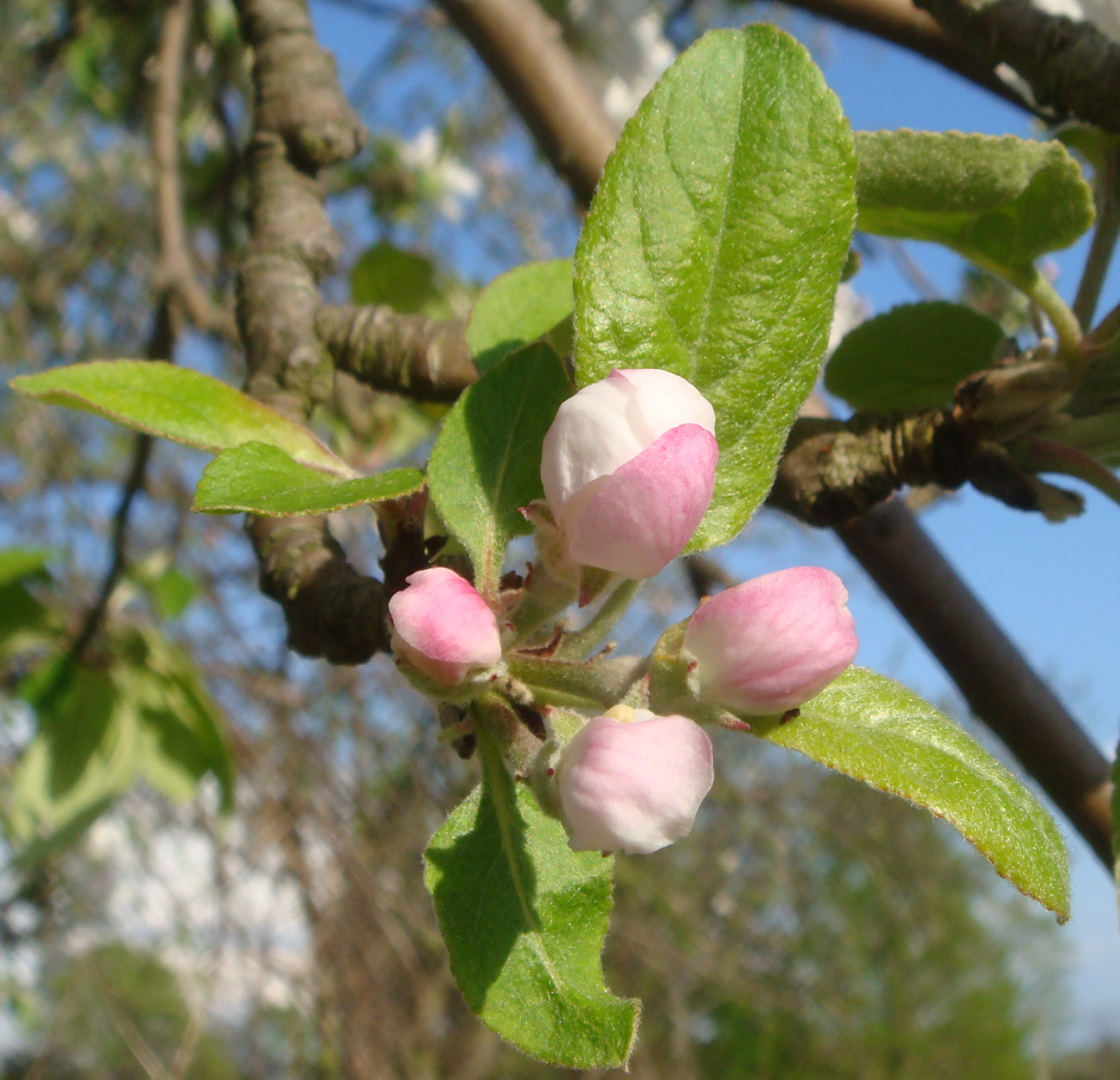 "Apple blossom at ""popcorn"" stage, just before flowering. (Bar Lois Weeks photo)"