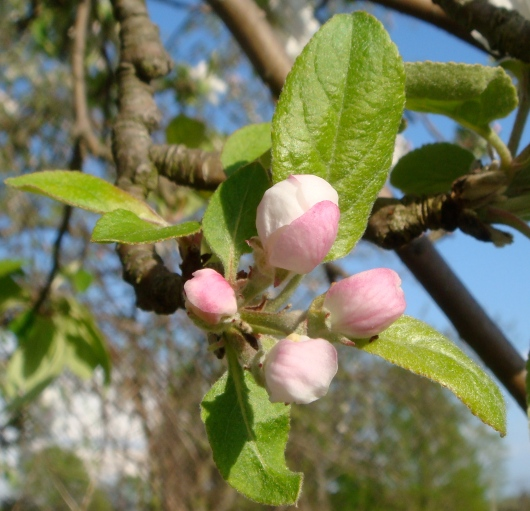 "Apple blossoms at ""popcorn"" stage, just before flowering"