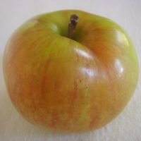 Gravenstein apple (Bar Lois Weeks photo)