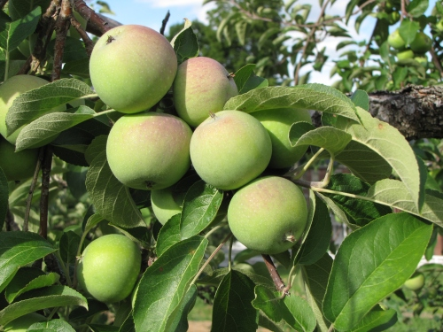 Still-young apples in mid-July at Sabbathday Lake Shaker Village in New Gloucester, Maine. (Russell Steven Powell photo)