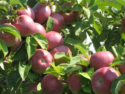 McIntosh apples, Red Apple Farm, Phillipston, Massachusetts (Russell Steven Powell photo)