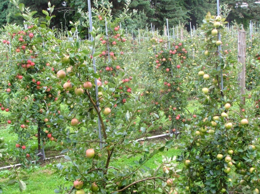 Honeycrisp apples (foreground) at Honey Pot Hill Orchards in Stow, Massachusetts