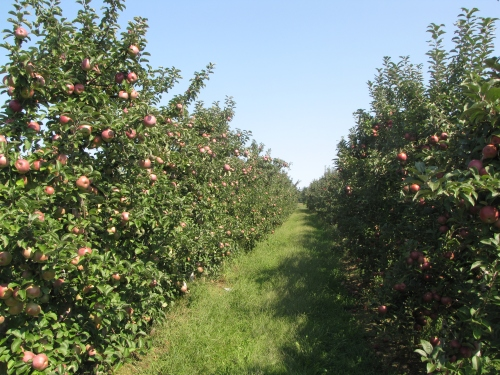 Some New England orchards had outstanding crops in 2012, like Tougas Family Farm in Northborough, Massachusetts. (Russell Steven Powell photo)
