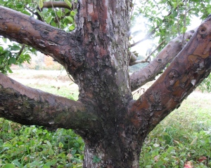 Apple tree trunk at Bolton Orchards, Bolton, Massachusetts
