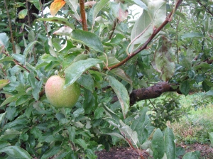 Late-season apple at Bolton Orchards, Bolton, Massachusetts