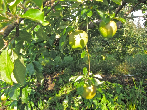 Late afternoon sun on apples at Bolton Orchards, Bolton, Massachusetts. (Russell Steven Powell photo)