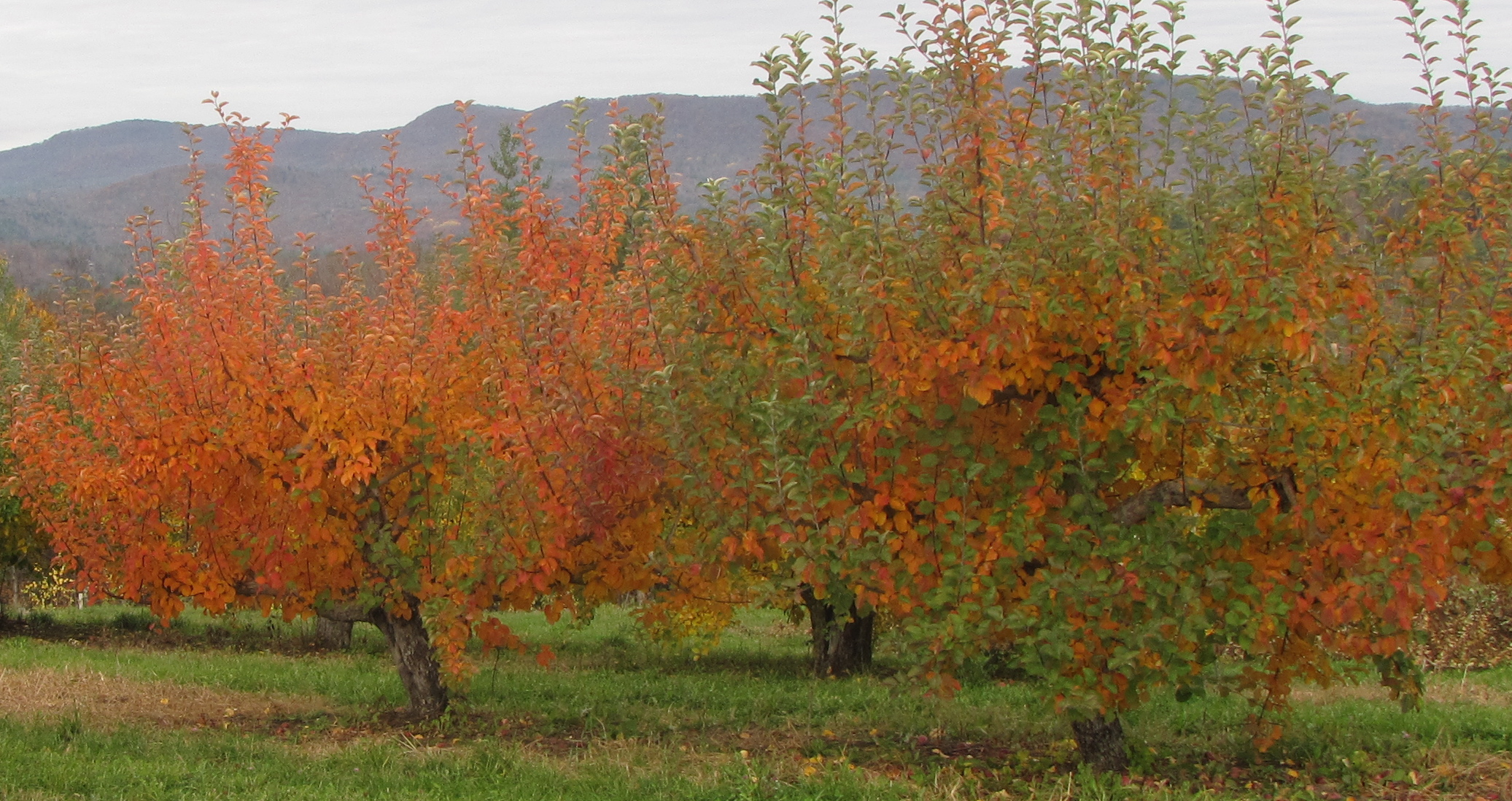 The apple orchard makes a distinctive contribution to fall foliage at Wellwood Orchards, Springfield, Vermont. (Russell Steven Powell photo)