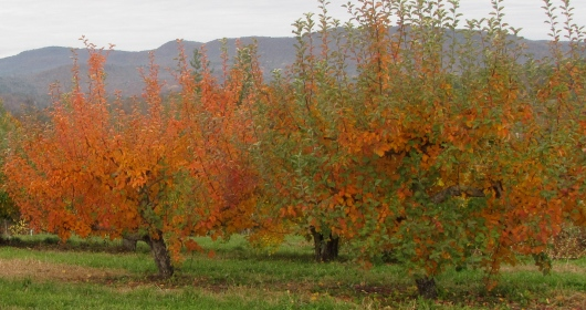 Foliage at Wellwood Orchards, Springfield, Vermont
