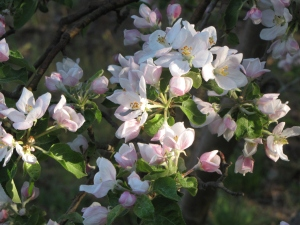 Apple blossoms, Pippin Apple Orchard, Cranston, Rhode Island (Russell Steven Powell photograph)