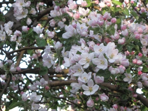 Apple blossoms, Appleland Orchard, Greenville, Rhode Island (Russell Steven Powell photo)