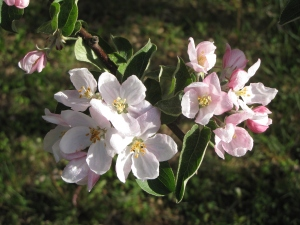 Apple blossoms, Elwood Orchard, Glocester, Rhode Island (Russell Steven Powell photo)