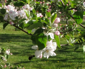 Apple blossoms (Russell Steven Powell photograph)