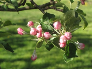 Apple blossoms, Rocky Brook Orchard, Middletown, Rhode Island (Russell Steven Powell photograph)