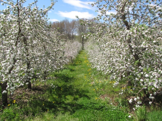 Apple blossoms, Barden Family Orchard, North Scituate, Rhode Island (Russell Steven Powell photograph)