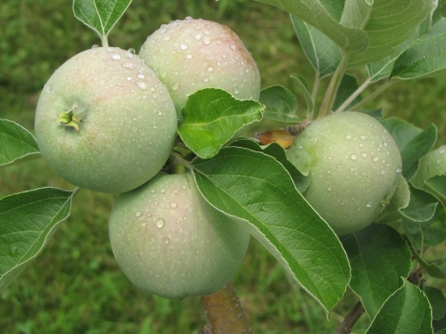 Young Macoun apples at Honey Pot Hill Orchards in Stow, Massachusetts, in early July. (Russell Steven Powell photo)
