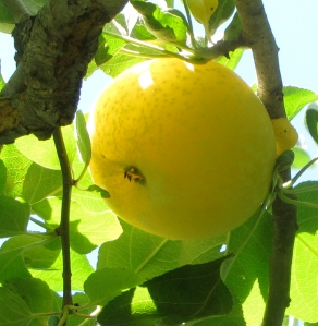 Yellow Transparent apple on the tree