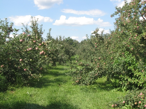 The trees are brimming with apples across New England at orchards like The Big Apple in Wrentham, Massachusetts. (Russell Steven Powell photo)