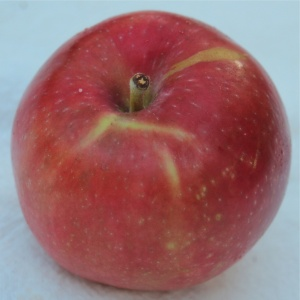 Red Astrachan apples can be an almost solid red. (Bar Lois Weeks photo)