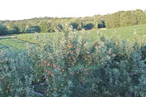 Apples are ripening at Dame Farm and Orchards, Johnston, Rhode Island. (Russell Steven Powell photo)