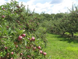 Buell's Orchard in Eastford, Connecticut, is one of many orchards with a full crop. (Russell Steven Powell photo)
