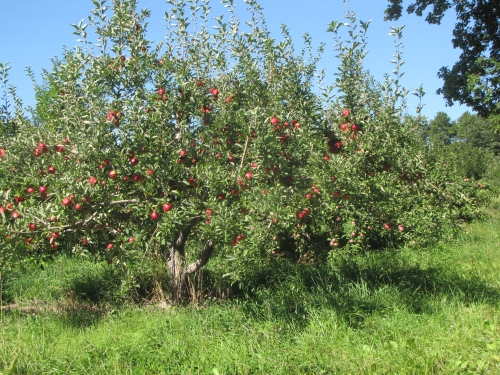 An Akane apple tree at Clarkdale Fruit Farms in Deerfield, Massachusetts. (Russell Steven Powell photo)