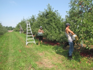 """A crew picks Jersey Macs at Mack""""s Apples in Londonderry, New Hampshire. (Russell Steven Powell photo)"""