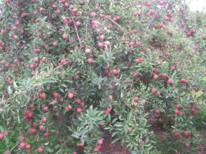 The trees are full of apples at Lanni Orchards in Lunenburg, Massachusetts. (Russell Steven Powell photo)