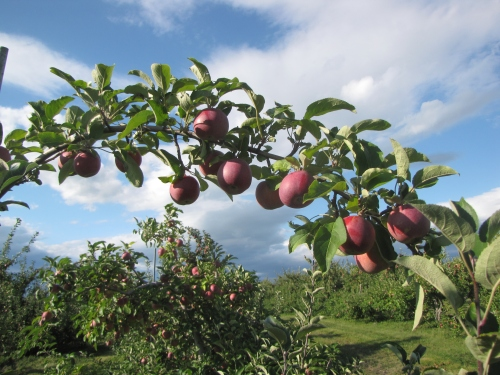 Champlain Orchards in Shoreham, Vermont, is one of many New England orchards with outstanding Cortland apple crops this fall. (Russell Steven Powell photo)