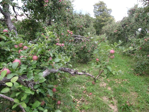 McIntosh apples waiting to be plucked at Douglas Orchards in West Shoreham, Vermont