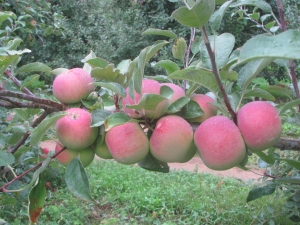 A brief shower Sunday left traces of rain on McIntosh apples at Pine Hill Orchards in Colrain, Massachusetts. (Russell Steven Powell photo)