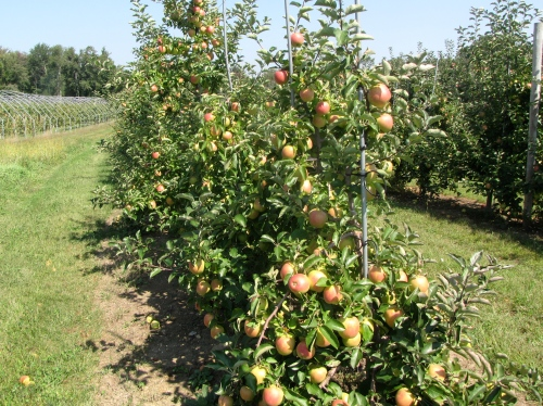 Creston, a new, late-season apple from Canada, at Tougas Family Farm in Northborough, Massachusetts