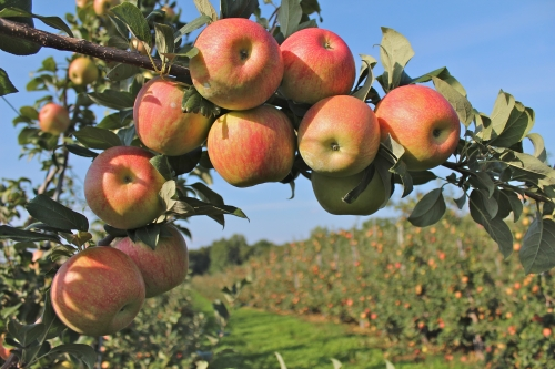 A bough of Honeycrisp apples at Norton Brothers Fruit Farm, Cheshire, Connecticut. (Bar Lois Weeks photo)