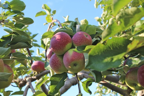 Cluster of PaulaRed apples at Steere Orchard, Geeenville, Rhode Island. (Bar Lois Weeks photo)