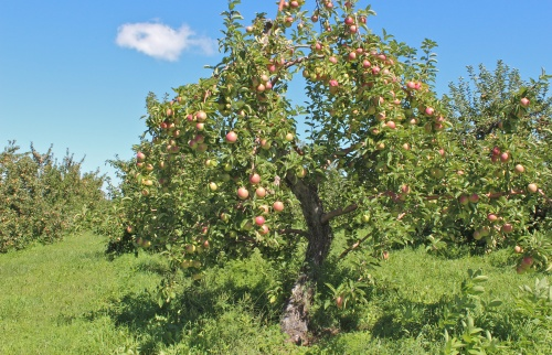 Spencer apples on this tree at The Big Apple in Wrentham, Massachusetts, were good sized but had not yet developed their full color when this photograph was taken in early September. (Bar Lois Weeks photo)